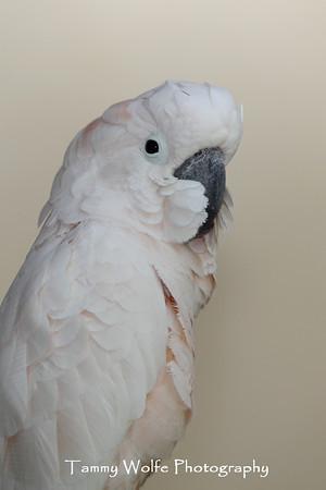 Cockatoo, Moluccan