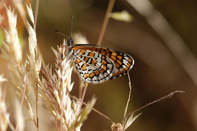 Tiny (Imperial) Checkerspot