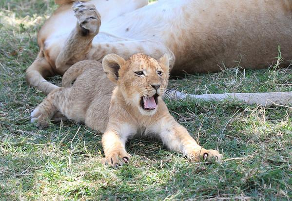 Lions Mara Reserve Kenya 2012