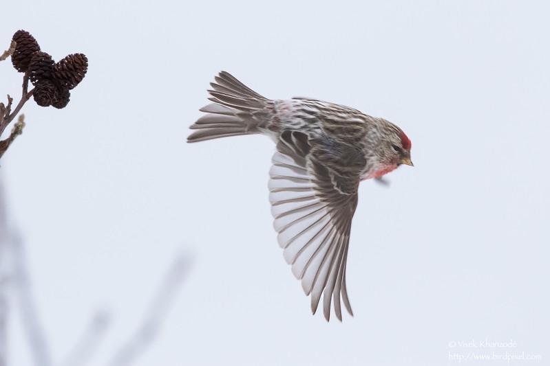 Common Redpoll - Hokkaido, Japan