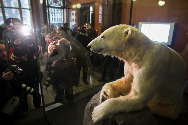 . Late polar bear Knut is on display at the   Natural History Museum  in Berlin, Friday, Feb. 15, 2013. Adorable in life, still attracting admirers in death: Knut the polar bear\'s hide has been mounted on a polyurethane body and is going on display in a Berlin museum.  The Natural History Museum on Friday unveiled the statue prepared by taxidermists featuring the famous Berlin Zoo bear\'s fur and claws, with the synthetic body and glass eyes. Knut was hand-raised after his mother rejected him. He rose to stardom in 2007 as a cuddly cub, appearing on magazine covers, in a film and on mountains of merchandise. He died in 2011 after suffering from encephalitis.   (AP Photo/Markus Schreiber)