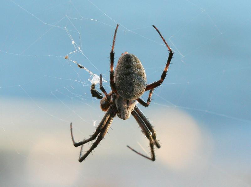 Large spider near dock at Bill's house along Sacramento River.