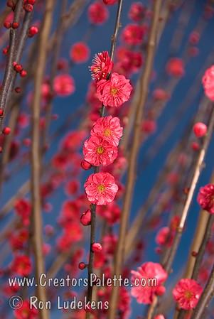 Matsubara Red Flowering Apricot  (Prunus mume)