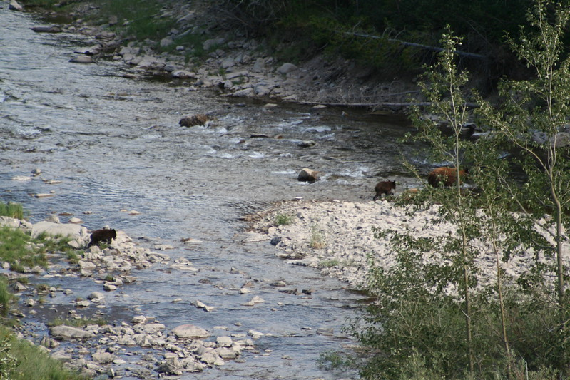20110828 - 081 - GNP - Sow And 3 Bear Cubs Along Road By Many Glacier Hotel.JPG