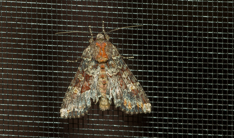 Poissble owlet moth (Noctuidae) from Wisconsin.