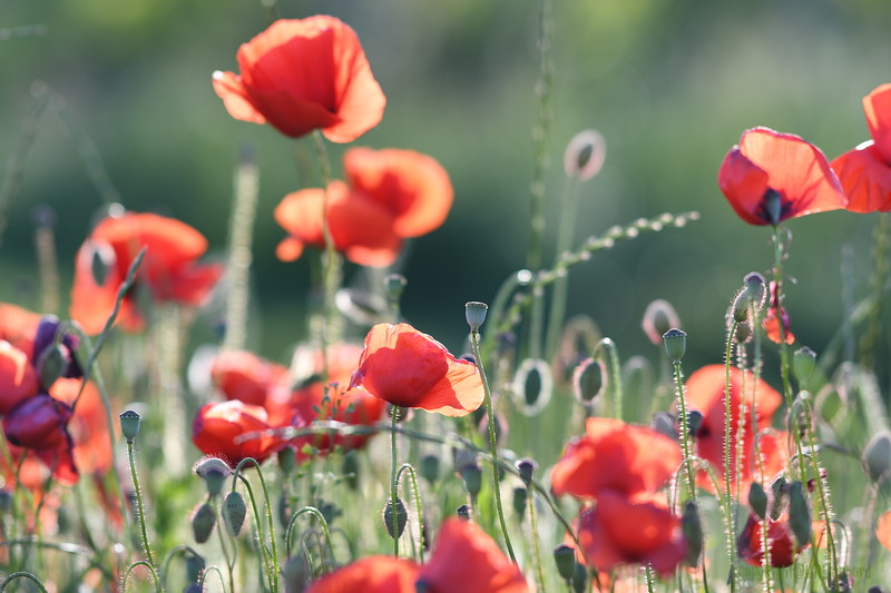 Poppys_Morges_08062019 (21).JPG