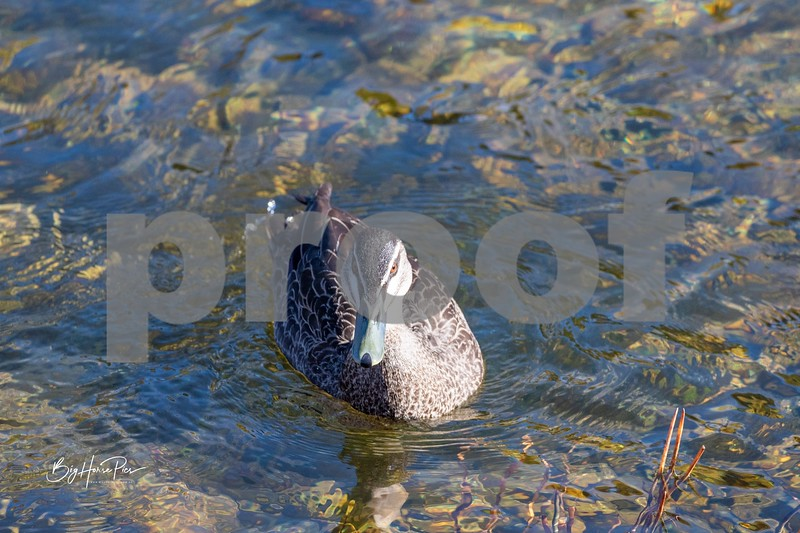 Thredbo river duck 10 june 19,2019-1 - Copy.jpg