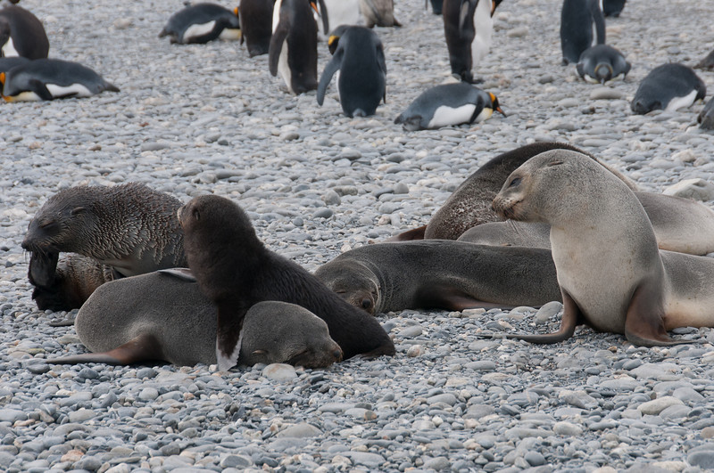 Fur seals at Salisbury Plain, South Georgia Island