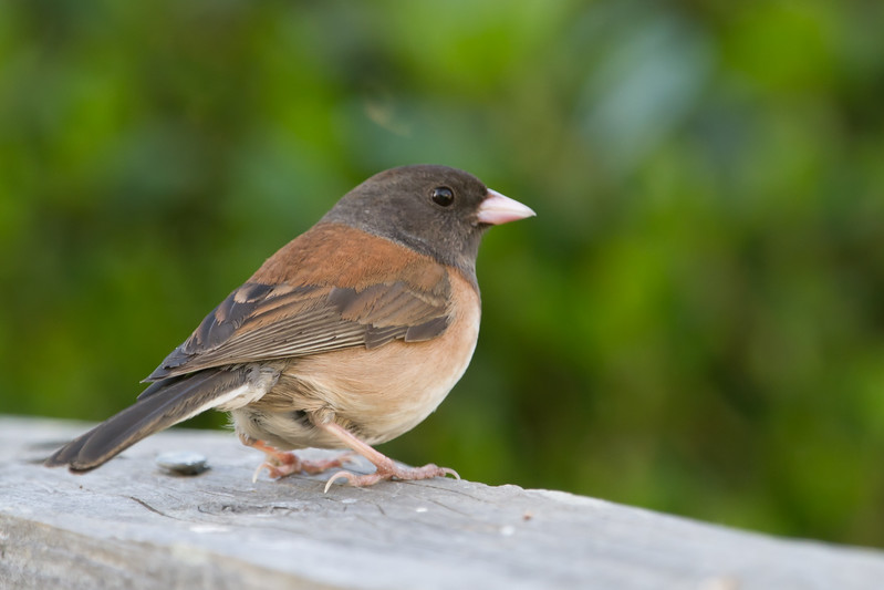 Oregon Junco - Female - Sunnyvale, CA, USA