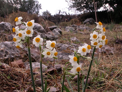 Greece: Crete, autumn bulbs