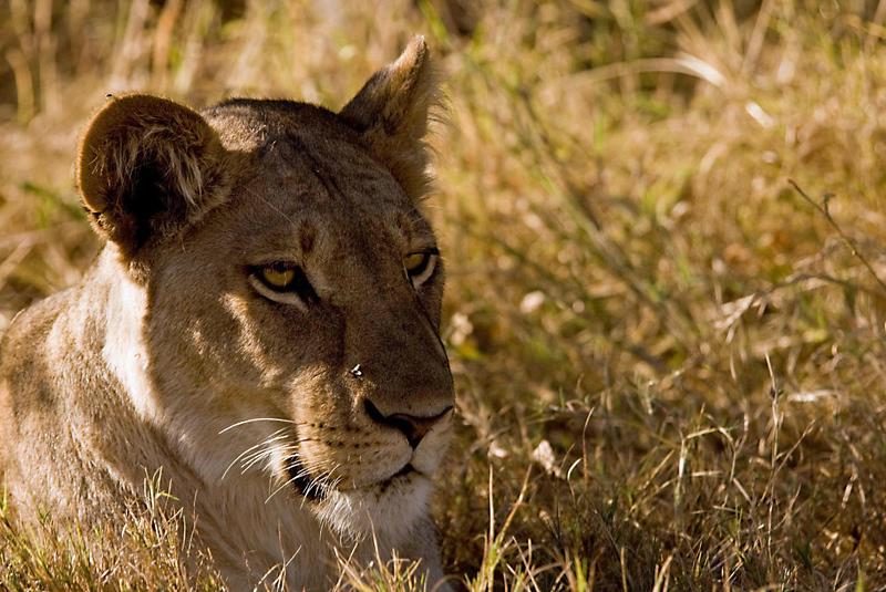 Lioness4.jpg