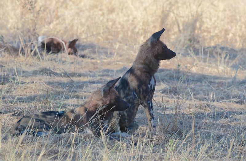 African wild dog, Kwando Lagoon, Botswana