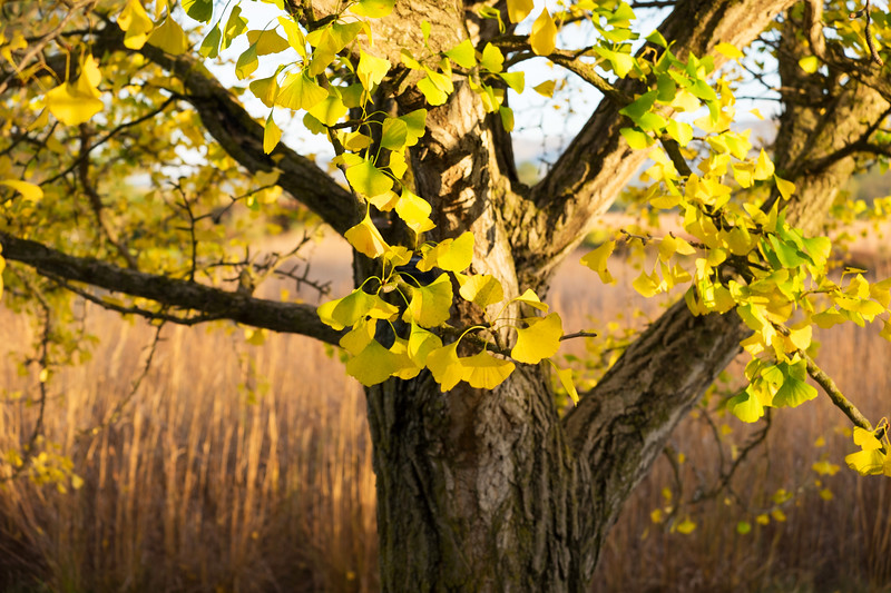 Ginko tree in fall colors