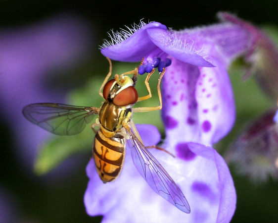 2011 - Hoverfly Spring