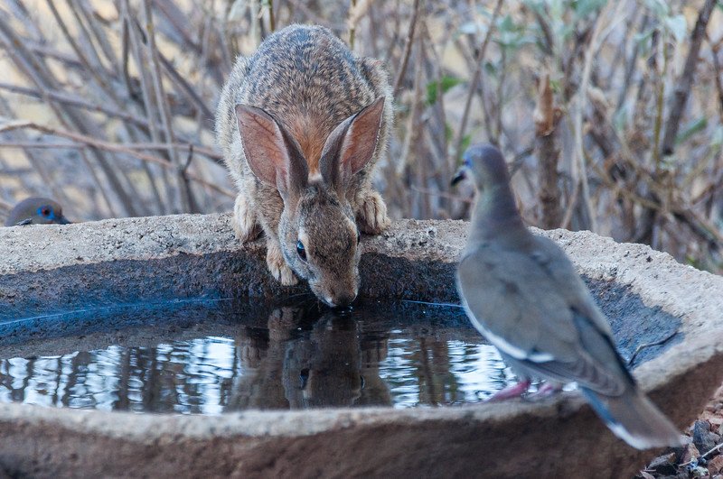 Desert Cottontail Rabbit Drinking