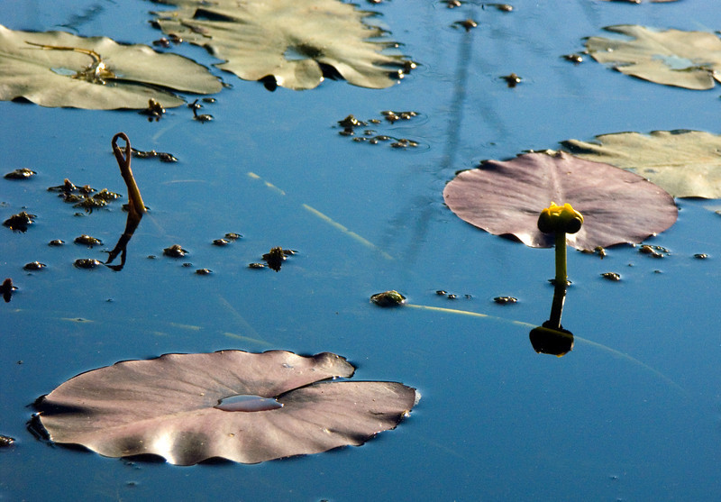 Lilly pads.