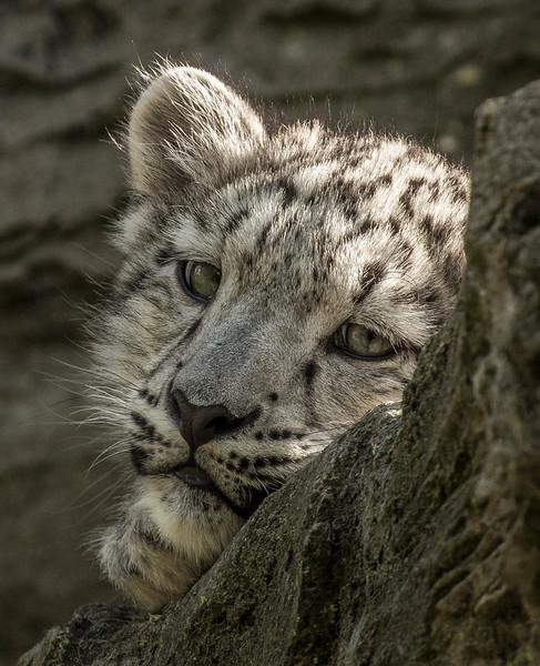 Sleepy Snow Leopard
