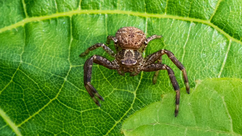 Ground Crab Spider