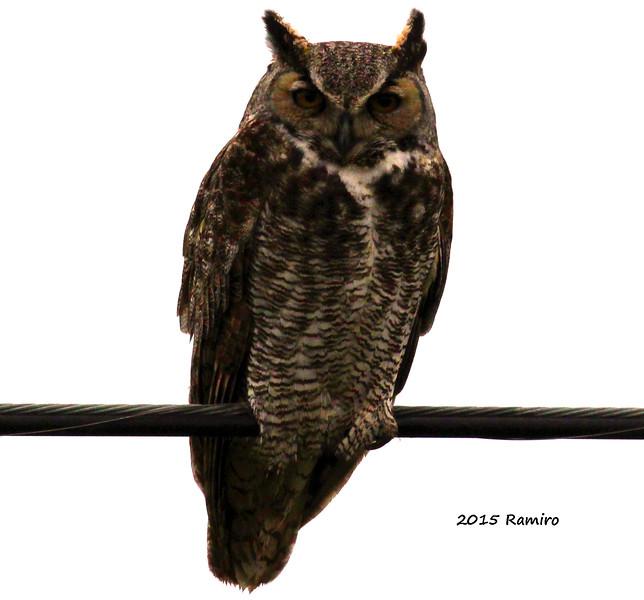 Horned Owl 3-3-15 165.jpg