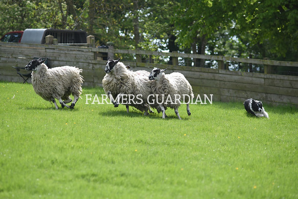 Skipton sheepdog sale May 2018
