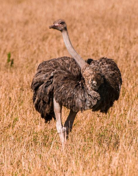 Ostrich-1.jpg