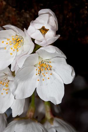National Cherry Blossom Festival (Best from 2009-2013)
