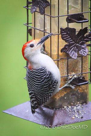 red head woodpecker feb 2016