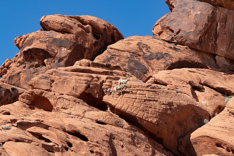 Bighorn Family on the Rocks