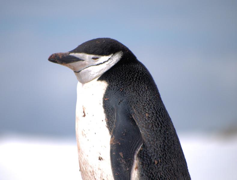 Chin Strap Penguins