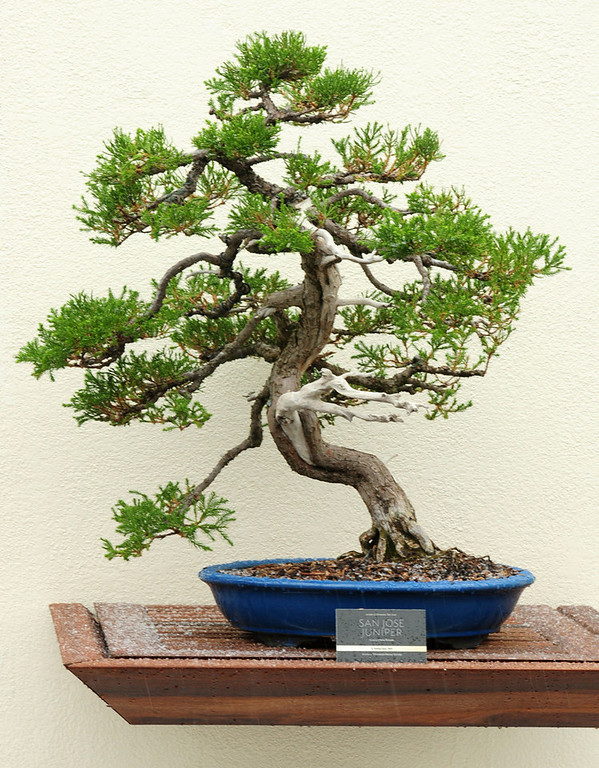 . A San Jose Juniper bonsai tree is shown at the Como Park Zoo and Conservatory in St. Paul on April 18, 2013.  (Pioneer Press: Scott Takushi)