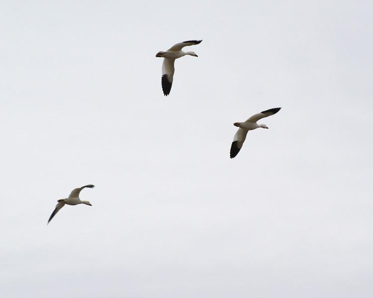 Snow Geese 14 03_13_19.JPG