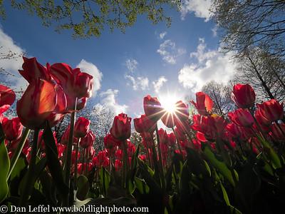 Holland Tulip Bloom