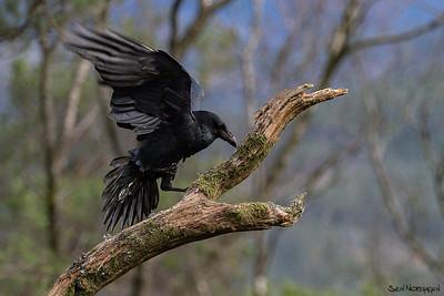Ravn (Common Raven)