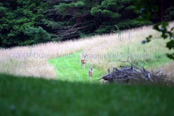 Deer 20070716