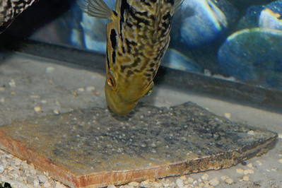 Jaguar Cichlids