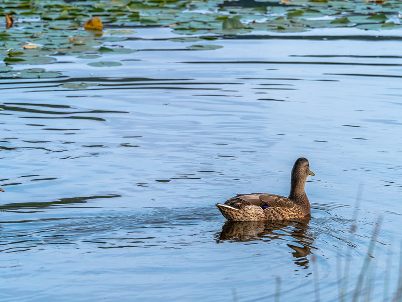 78 Aug xx Duck swimming away-1.jpg