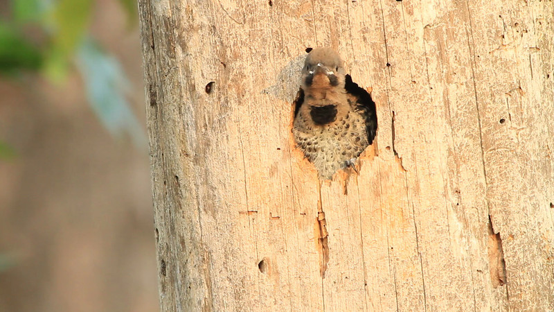 Northern Flicker nestlings being fed at nest cavity