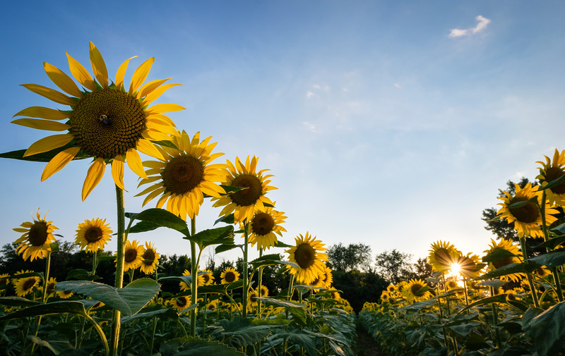 Sunflower fields at the Mckee-Beshers Wildlife Management Area (3)