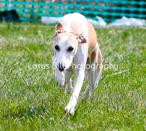 Whippet 2 DH