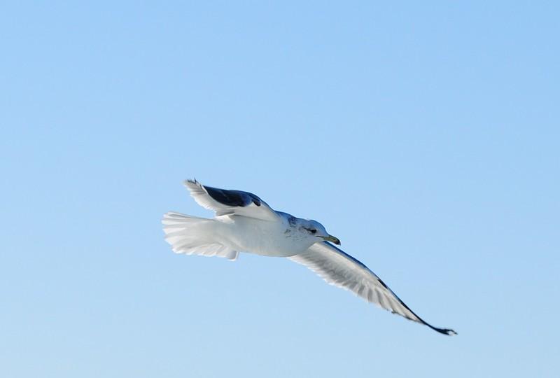 California Gull - 3/2/2013 - SD Bird Festival Pelagic