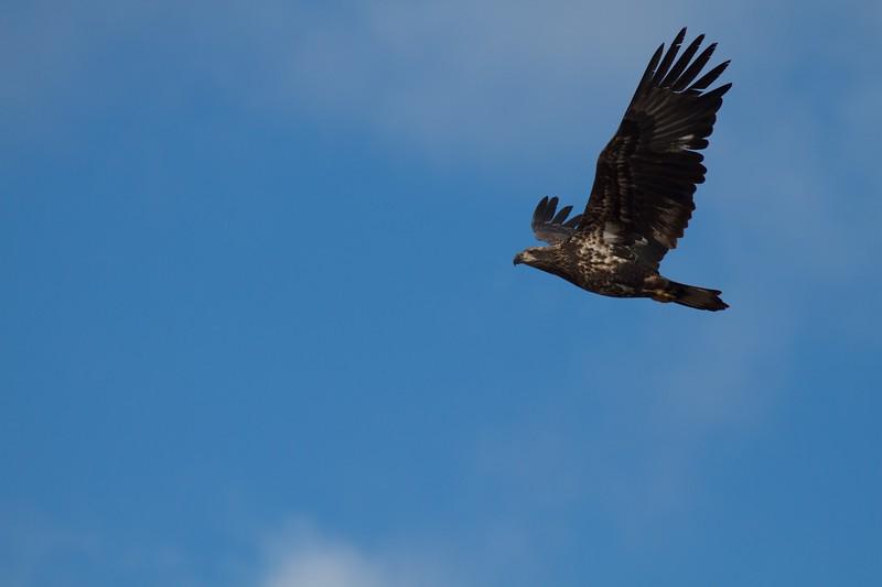Bald Eagle WI Pt Superior WI IMG_0031222.jpg