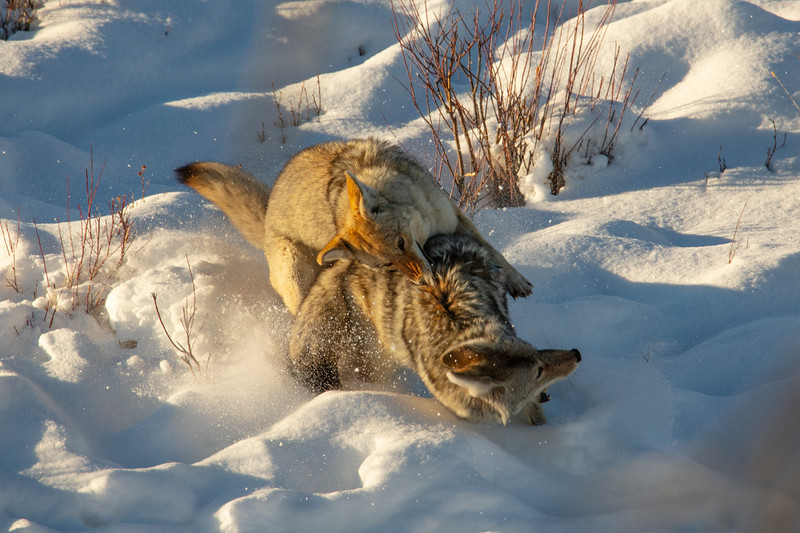 387A9587 Two coyotes fighting cropped.jpg