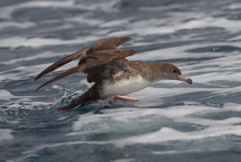 Pink-footed Shearwater-3-2.CR2