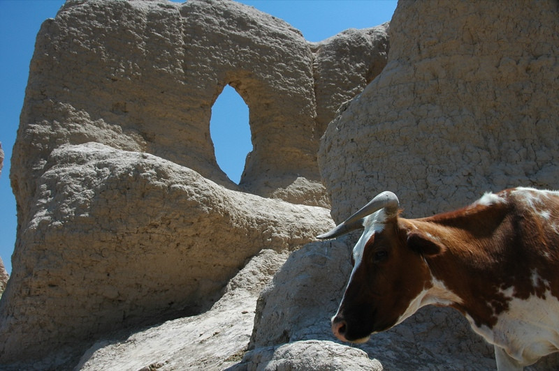 Cow Looking for Shade - Merv, Turkmenistan