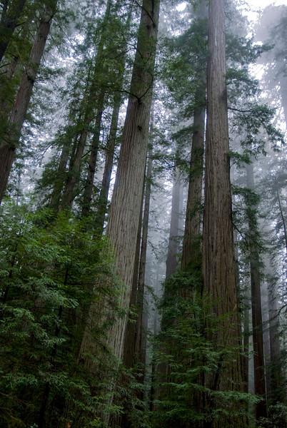 Redwoods #3, Sonoma County, CA
