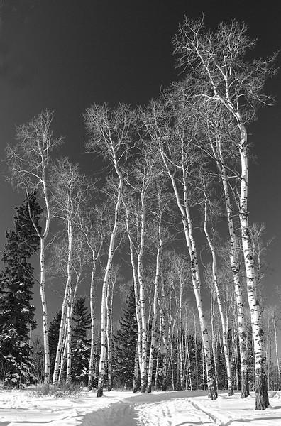 Wintering Birch no 2 BW_resize.jpg