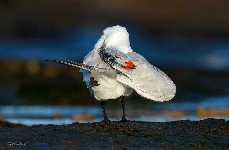 Caspian Tern preening 2 MASTER.jpg