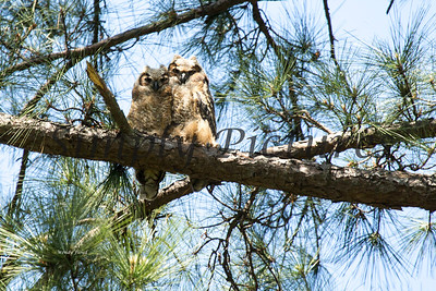 Owl  119