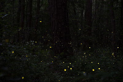 Fireflies (Photuris Frontalis) synchronizing at Congaree National Park