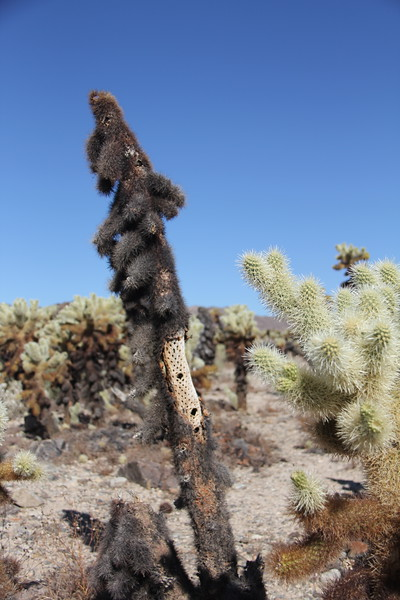 20190524-17-SoCalRCTour-Cholla Cactus Garden Trail-Joshua Tree NP.JPG